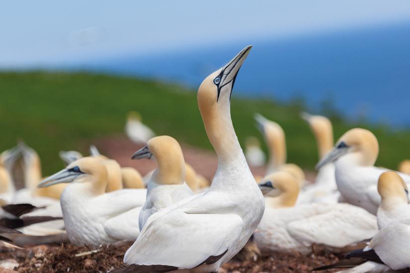 image Canada perce ile bonaventure oiseau 80 as_92183788
