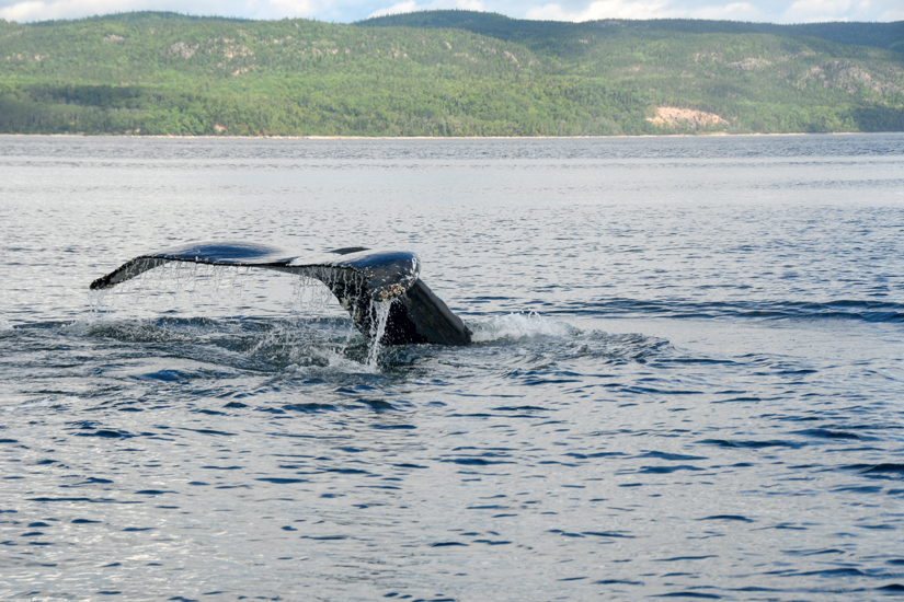 image Canada tadoussac baleine bosse 08 it_464436102