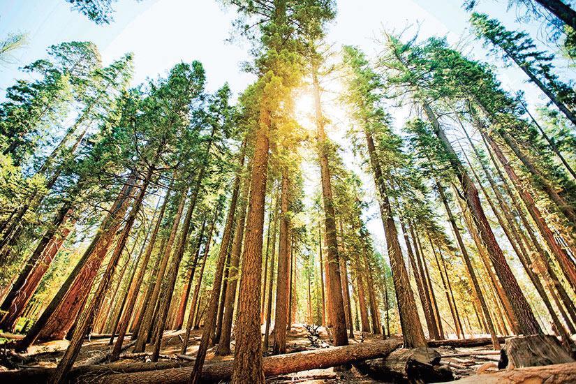 image Etats Unis Redwood parc national Mariposa Grove arbre Sequoia  it